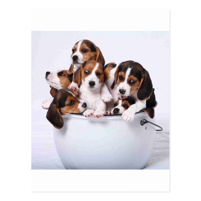 Beagles in Bucket Postcard