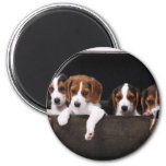 Beagles Magnets