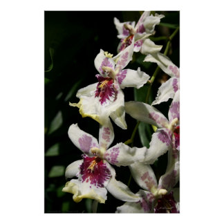 Beallara Orchid Art Poster -40x60 -other sizes