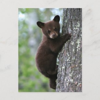 Bear Cub Climbing a Tree Post Cards