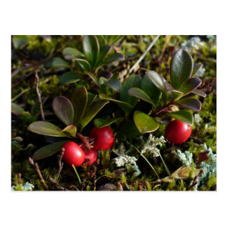 Bearberries, Unalaska Island Postcards