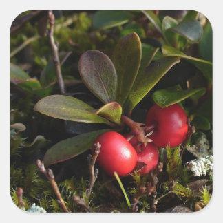 Bearberry, Arctostaphylus uva-ursi Square Sticker