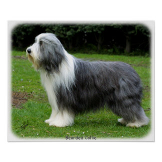 Bearded Collie 8R002D-16 Poster