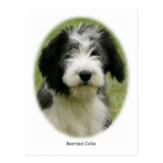Bearded Collie 9Y049D-018 Post Cards