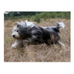 bearded collie post cards