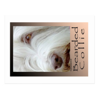 Bearded Collie Postcard