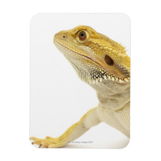 Bearded dragon (Pogona Vitticeps) Magnet