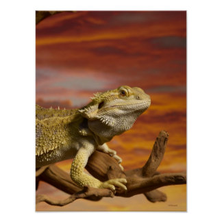 Bearded dragon (Pogona Vitticeps) on branch, Poster