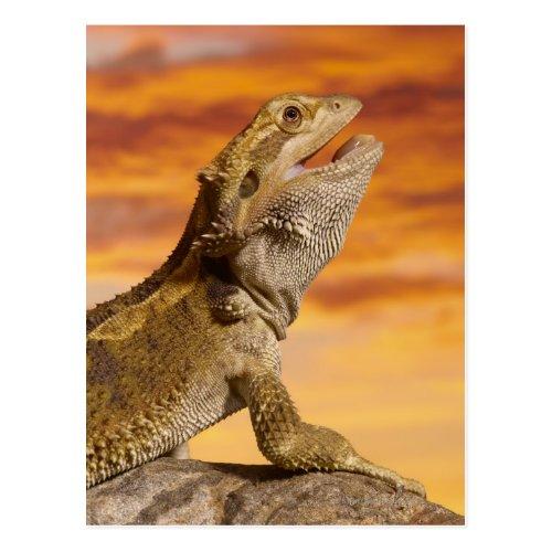 Bearded dragon Pogona Vitticeps on rock Postcard