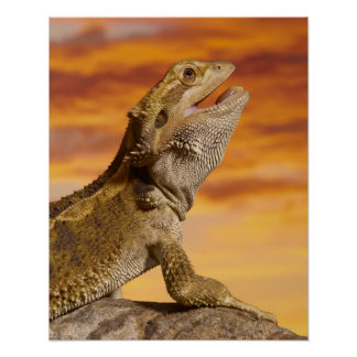 Bearded dragon (Pogona Vitticeps) on rock, Poster