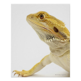 Bearded dragon (Pogona Vitticeps) Poster