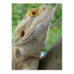 Bearded Dragon Post Cards