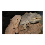 Bearded Dragons Poster