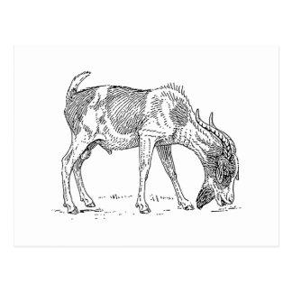 Bearded Goat Postcard