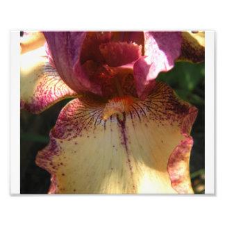 Bearded Iris 2 Photo