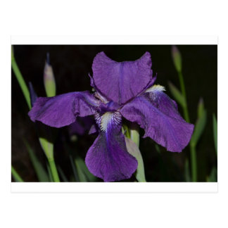 Bearded Iris in Purples Postcard