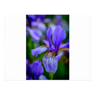 Bearded iris postcard