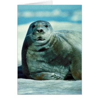 Bearded seal portrait cards