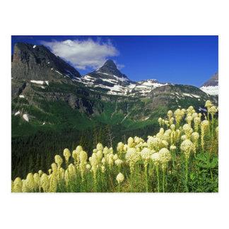 Beargrass at Logan Pass in Glacier National Park Postcard