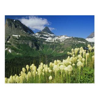Beargrass near Logan Pass in Gacier National Postcard