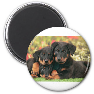 Beauceron Puppies Best Buds Magnet