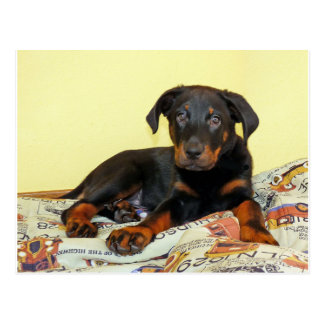 beauceron puppy.png postcard