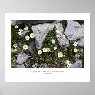 Beautiful Alpine Buttercups - Wall Print