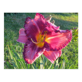 Beautiful Always Afternoon oriental day lily Postcard