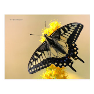 Beautiful Anise Swallowtail Butterfly in the Sun Postcard