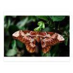 Beautiful Atlas Moth Postcard