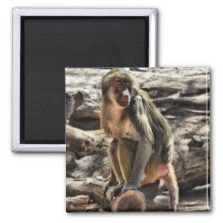beautiful baboon magnet