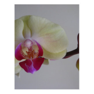 Beautiful Baby Yellow Orchids Postcard