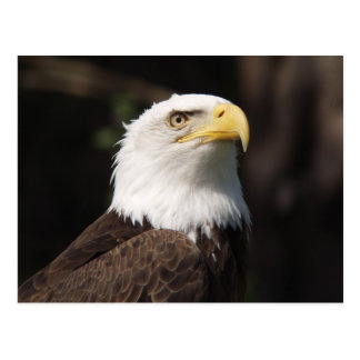Beautiful Bald Eagle... Postcard