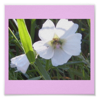 Beautiful Bee On Morning Glory Flower Poster