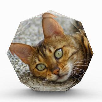 Beautiful Bengal Cat Award