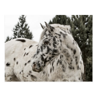 Beautiful Black and White Appaloosa Horse Post Card