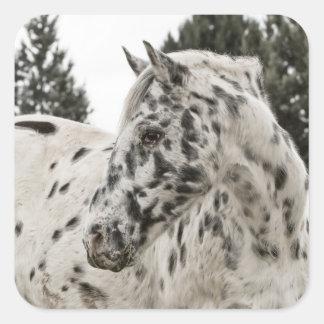Beautiful Black and White Appaloosa Horse Square Sticker