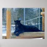 Beautiful Black Jaguar Posters