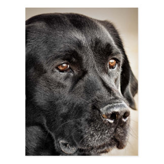 Beautiful Black Labrador Retriever dog design Postcard