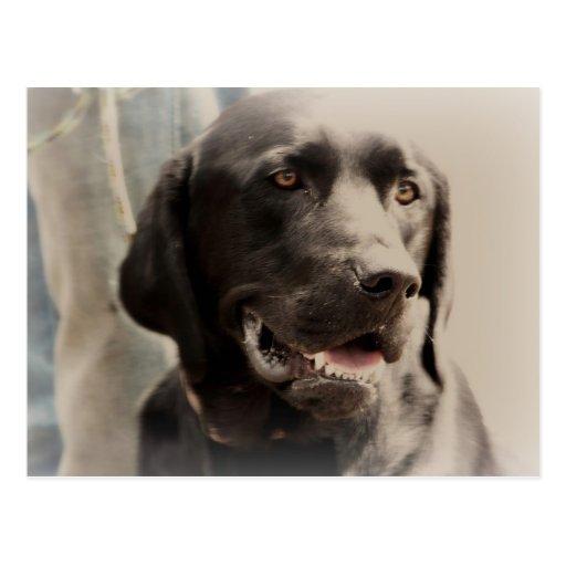 Beautiful Black Labrador Retriever Portrait Postcards