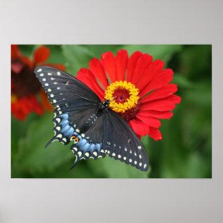 Beautiful Black Swallowtail Butterfly & Red Zinnia Poster