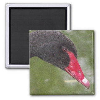 Beautiful Black Swan Close-Up Magnet