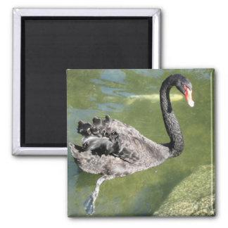 Beautiful Black Swan Magnet