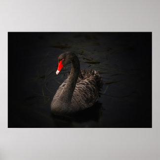 Beautiful black swan poster