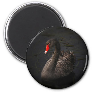 Beautiful Black Swan with a Bright Red Beak Magnets