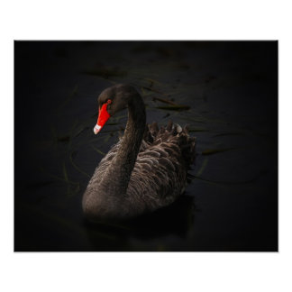 Beautiful Black Swan with a Bright Red Beak Poster