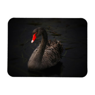 Beautiful Black Swan with a Bright Red Beak Vinyl Magnet