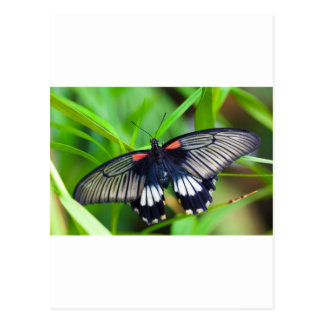 Beautiful Black, White and Red Butterfly Postcard