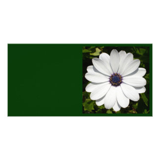 Beautiful Blossoming White Osteospermum Card