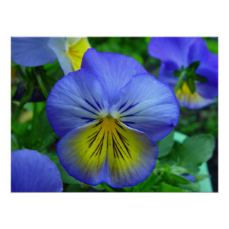 Beautiful Blue and Yellow Flower Poster